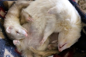 Ferret Friends